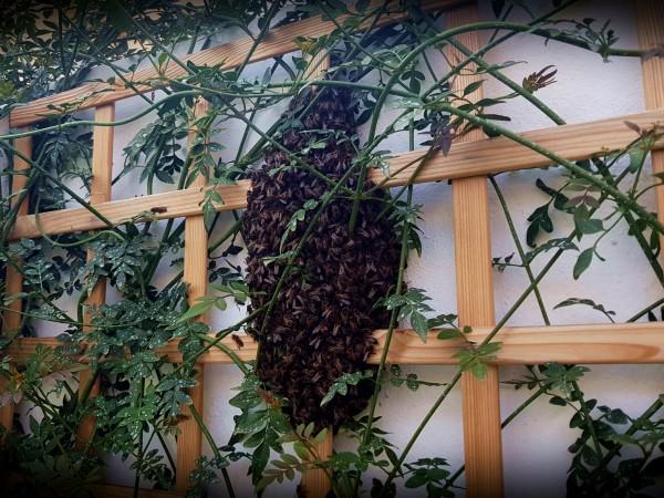 La Policía Local y bomberos del 112 retiran varios enjambres de abejas